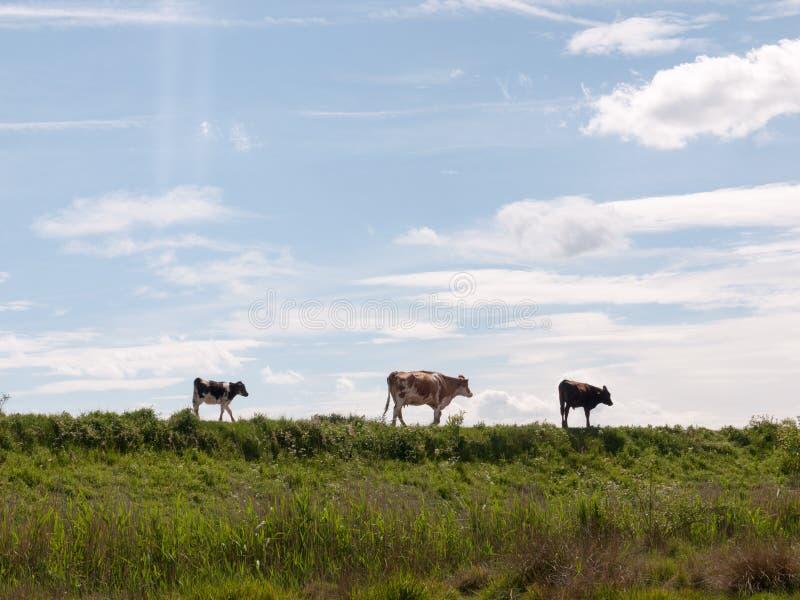 Tres vacas en la distancia que caminan a lo largo de una trayectoria a través del coun foto de archivo