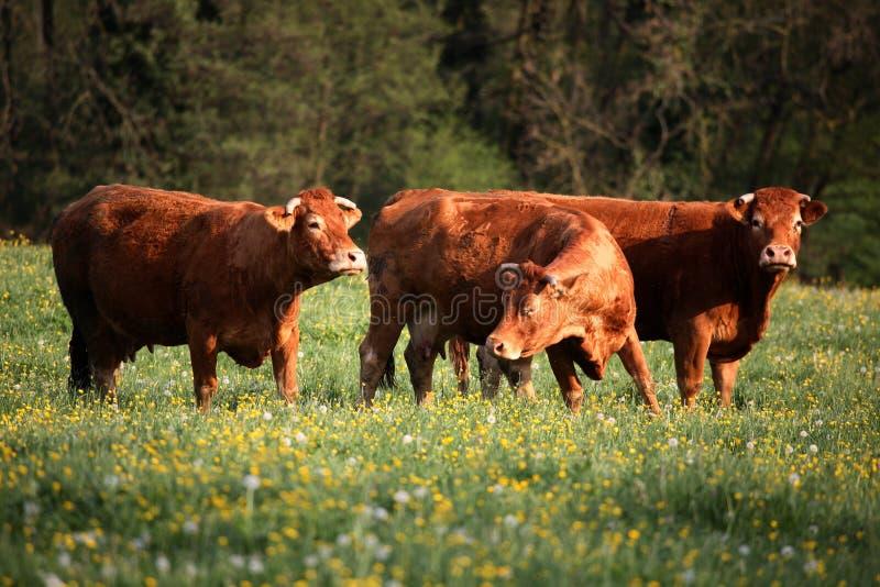 Tres vacas marrones fotografía de archivo libre de regalías