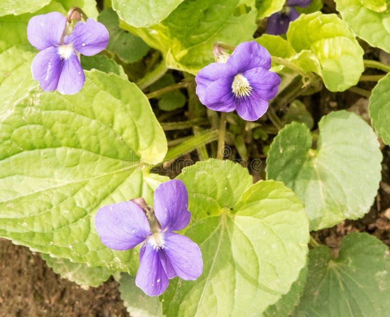 Tres violetas azules comunes fotos de archivo libres de regalías
