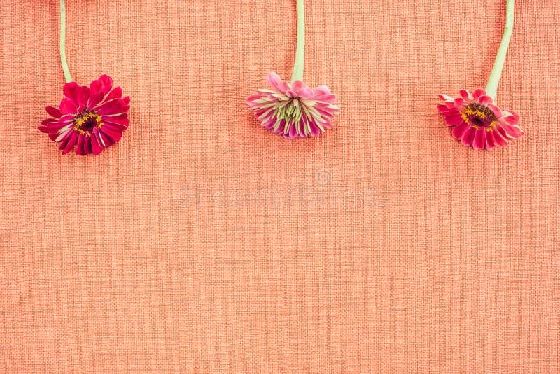 Tres zinnias en lona coloreada melocotón con el espacio de la copia fotos de archivo
