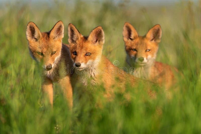 Tres zorros rojos jovenes en hierba en una luz hermosa imágenes de archivo libres de regalías