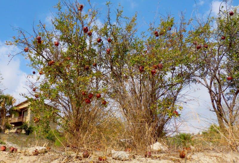 Tress гранатового дерева стоковое фото rf