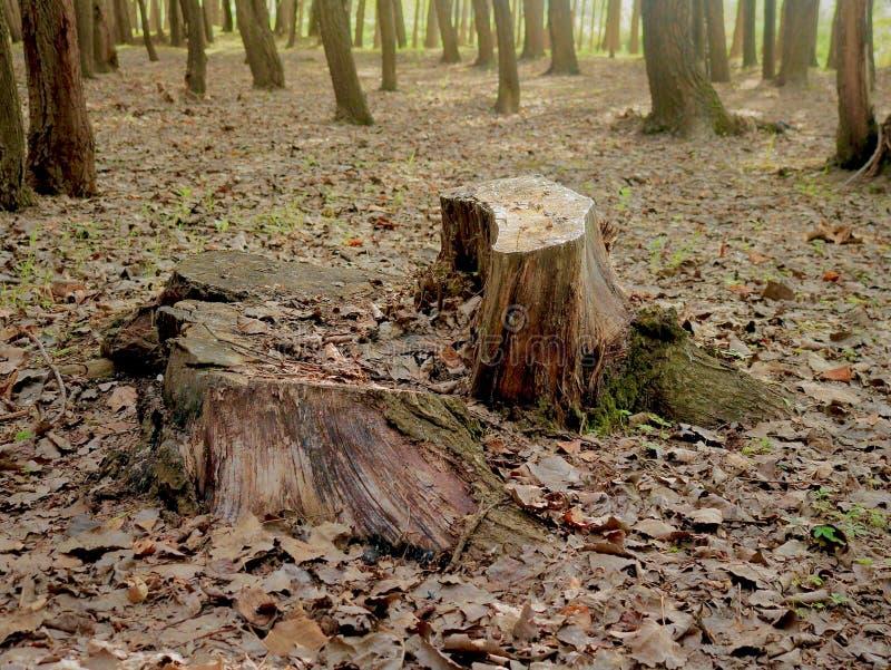 Tress In Forest Nursery In alta sin vida Kashmir Valley la India imagen de archivo
