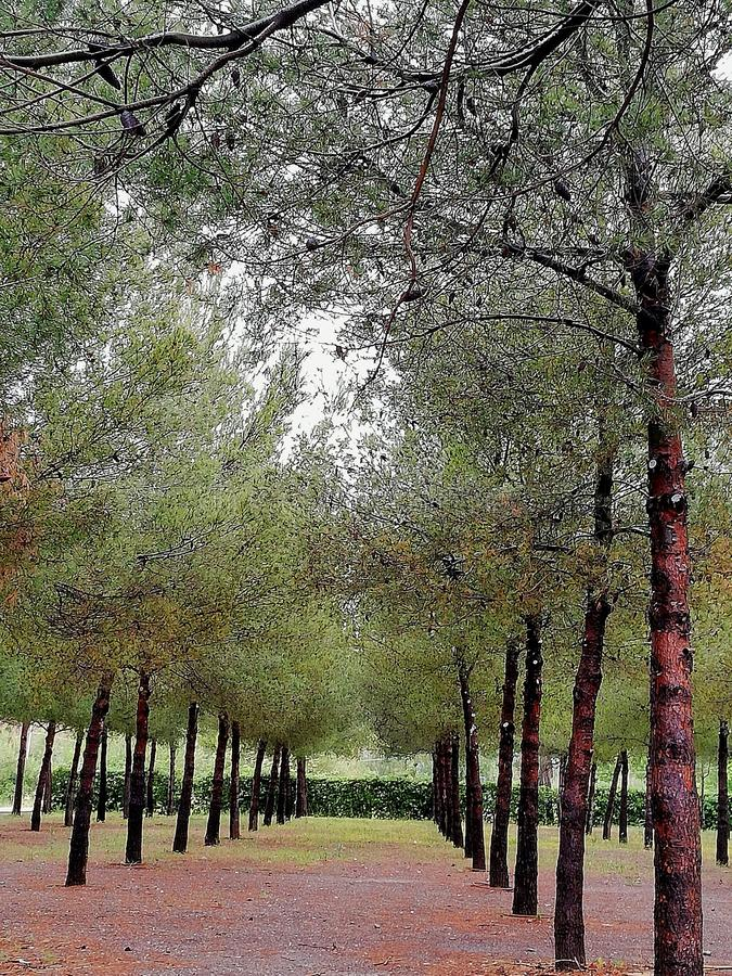 Tress in a row. Tress row nature pine forest stock photo
