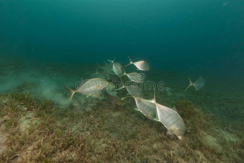Trevally abgehalten (carangoides ferdau) im Roten Meer. lizenzfreie stockfotos