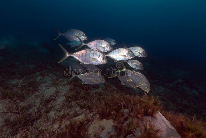 Trevally abgehalten (carangoides ferdau) im Roten Meer. stockfoto