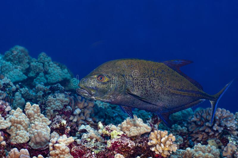 A Trevally Jack swimming over a coral reef stock image