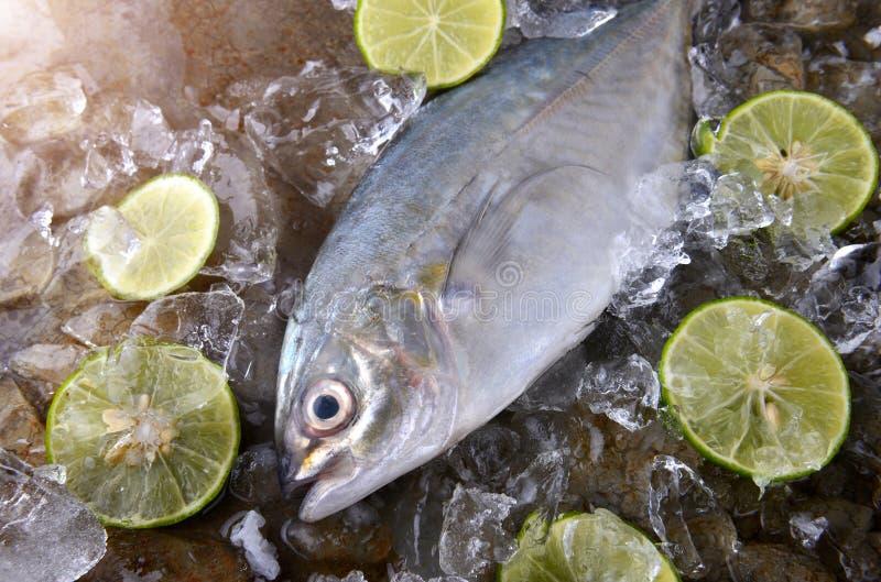 Trevallyvissen of hefboom in ijs worden bevroren dat royalty-vrije stock afbeelding