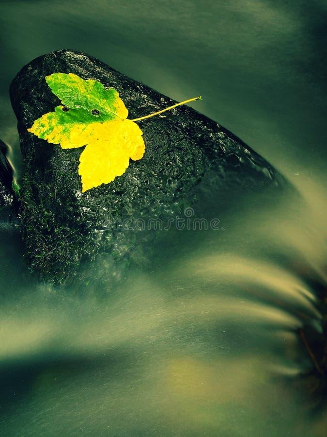 Trevlig färgrik bruten lönnlöv på basaltstenen i suddigt vatten av bergströmkaskaden Hösten färgar royaltyfri foto