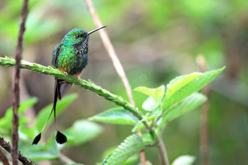 Trevlig kolibri med den delade svansen, startad Racket-svans arkivbild