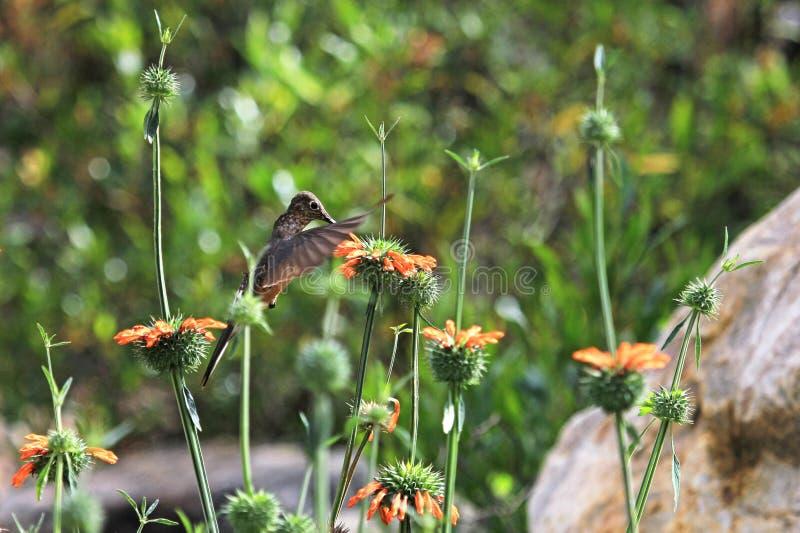 Trevlig kolibri som matar på den orange blomman royaltyfri fotografi