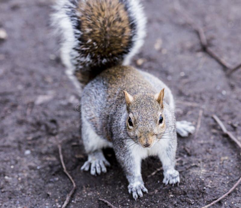 Trevlig liten ekorre i parkera arkivbild