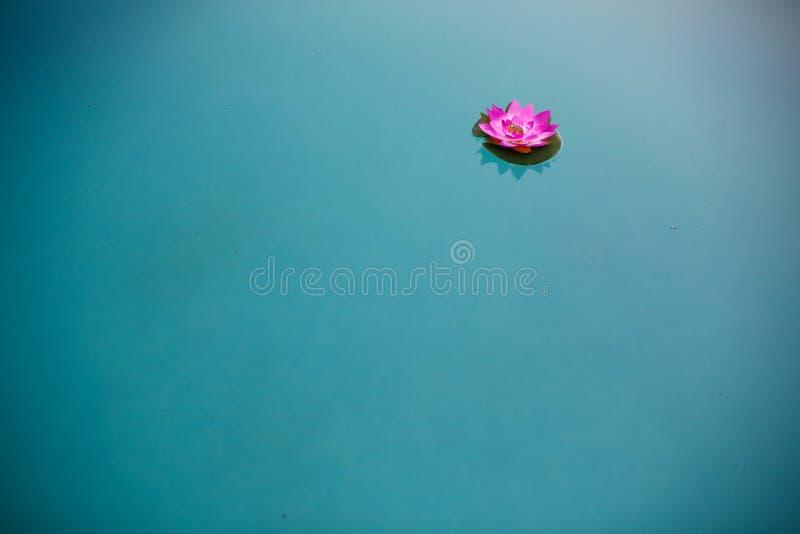 Trevlig lotusblommablomma på vatten royaltyfria foton