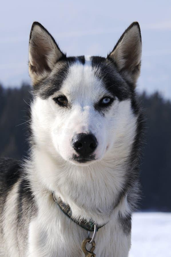 trevlig nordisk snow för hund royaltyfri foto