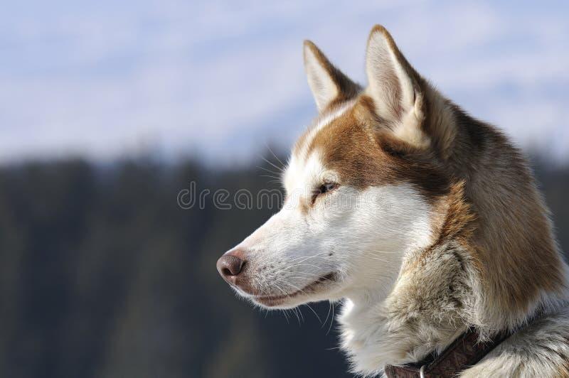 trevlig nordisk snow för hund royaltyfri bild