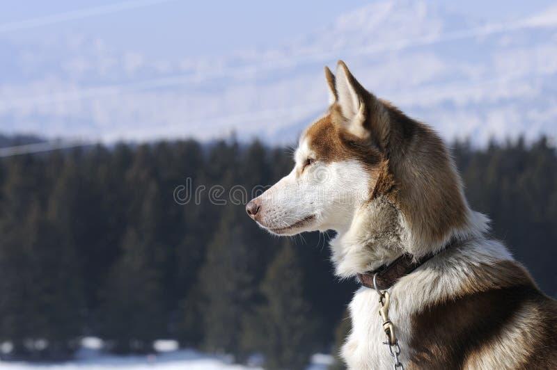 trevlig nordisk snow för hund arkivbild