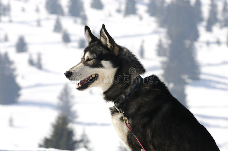 trevlig nordisk snow för hund royaltyfria bilder