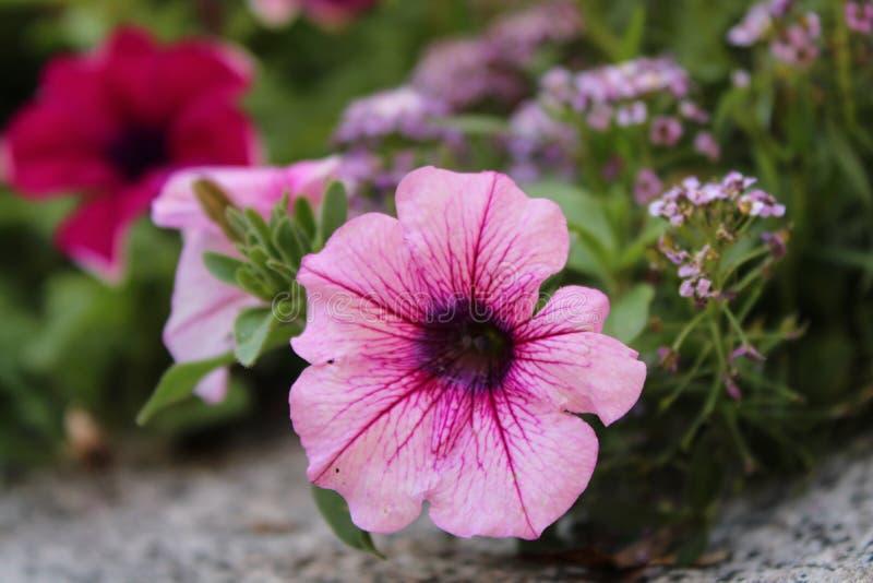 Trevlig petuniablomma av två färger royaltyfri foto