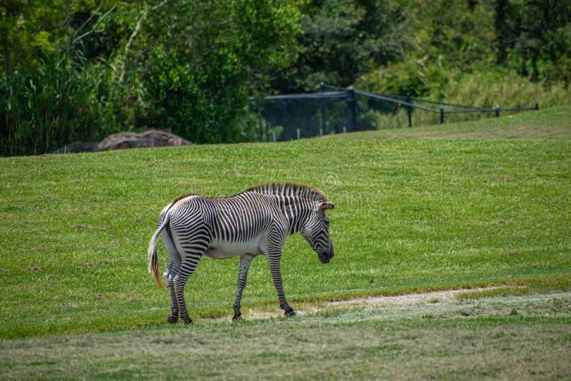 Trevlig sebra som går i grön äng på Busch trädgårdar 1 arkivfoto