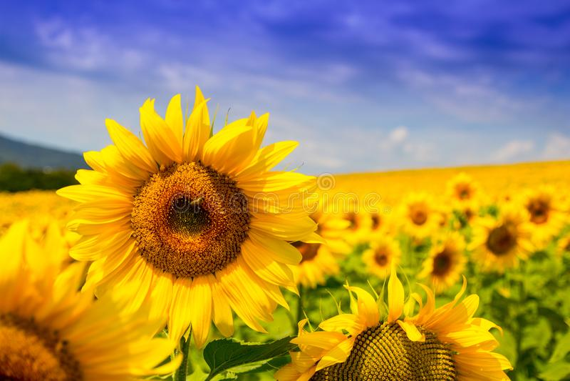 Trevlig sikt av gula solrosor, sommarnaturlandskap royaltyfri foto