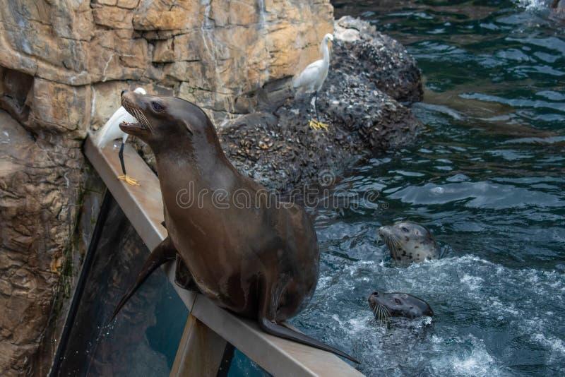 Trevlig sjölejon som väntar på en person att kasta honom för att fiska på Seaworld 1 arkivfoton