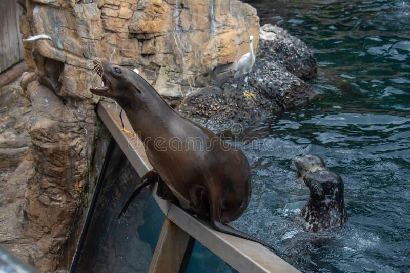 Trevlig sjölejon som väntar på en person att kasta honom för att fiska på Seaworld 2 royaltyfri fotografi