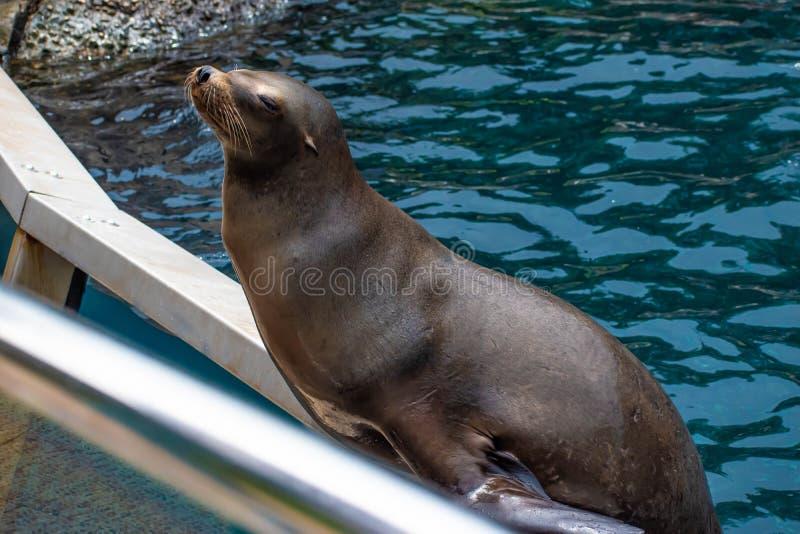 Trevlig sjölejon som väntar på en person att kasta honom för att fiska på Seaworld 3 royaltyfri fotografi