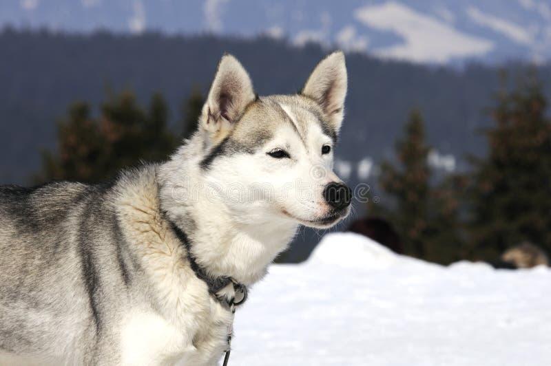 trevlig snow för hund royaltyfria foton