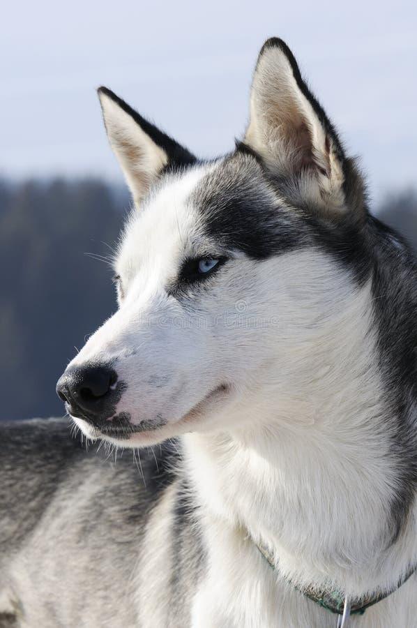 trevlig snow för hund royaltyfria bilder