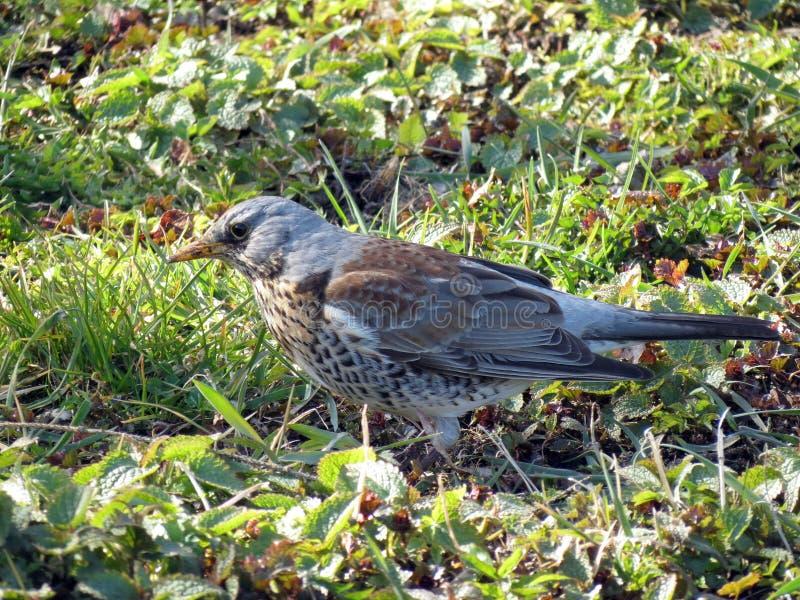 Trevlig sparvfågel på vårgräs, Litauen fotografering för bildbyråer