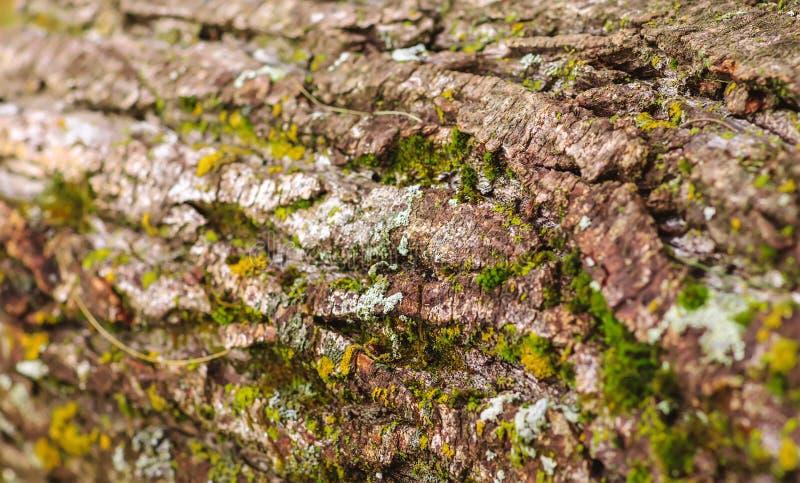Trevlig trätextur av trädskället med mossa och laven gammalt trä arkivbild