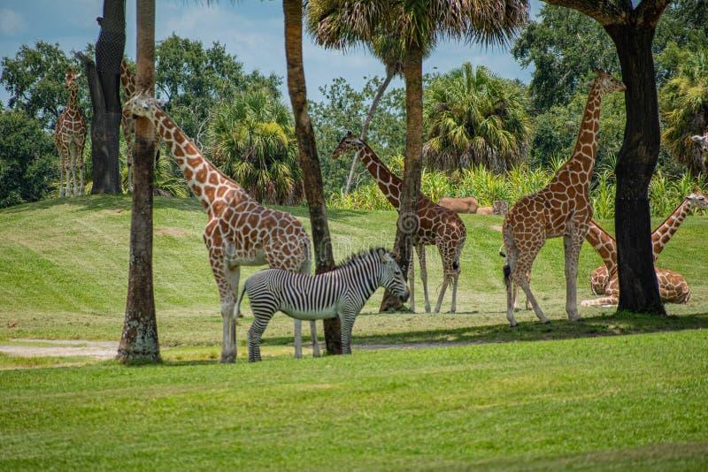 Trevliga giraff och sebra på grön äng på Busch trädgårdar 3 royaltyfri bild