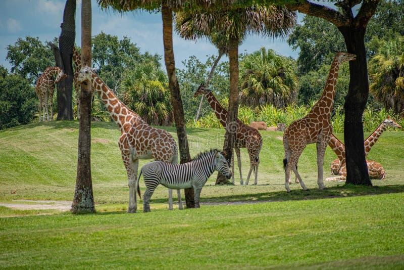 Trevliga giraff och sebra som vilar på grön äng på Busch trädgårdar 2 royaltyfria bilder