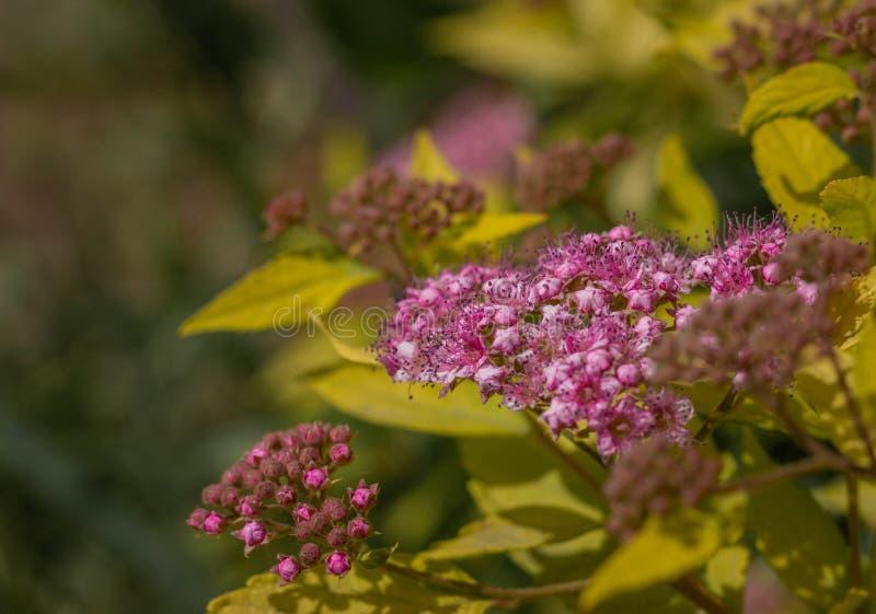 Trevliga purpurfärgade blommor på en bakgrund av gul lövverk close upp Makro royaltyfria foton