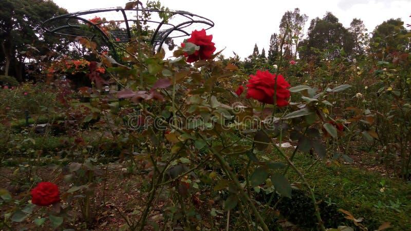 Trevliga Rose Flower arkivfoton