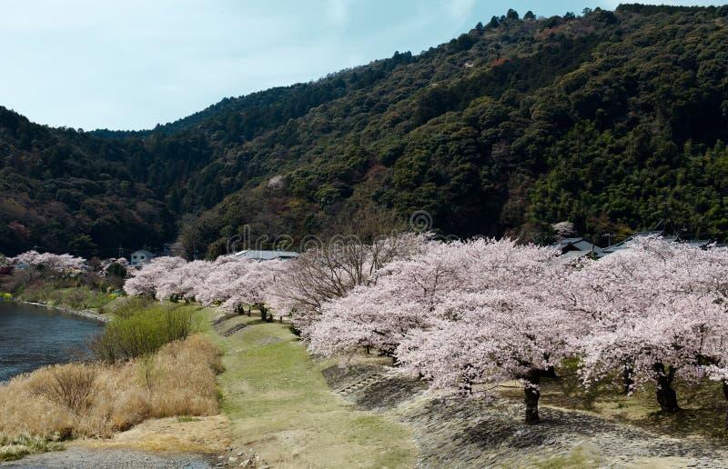 Trevligt landskap av träd för körsbärsröd blomning längs banan i vår arkivfoto