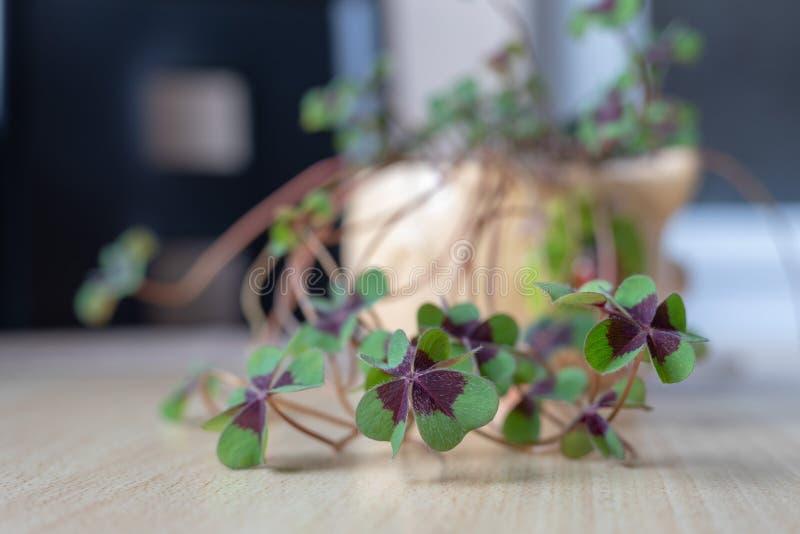 Trevo afortunado bonito da flor a quatro-folha imagem de stock royalty free