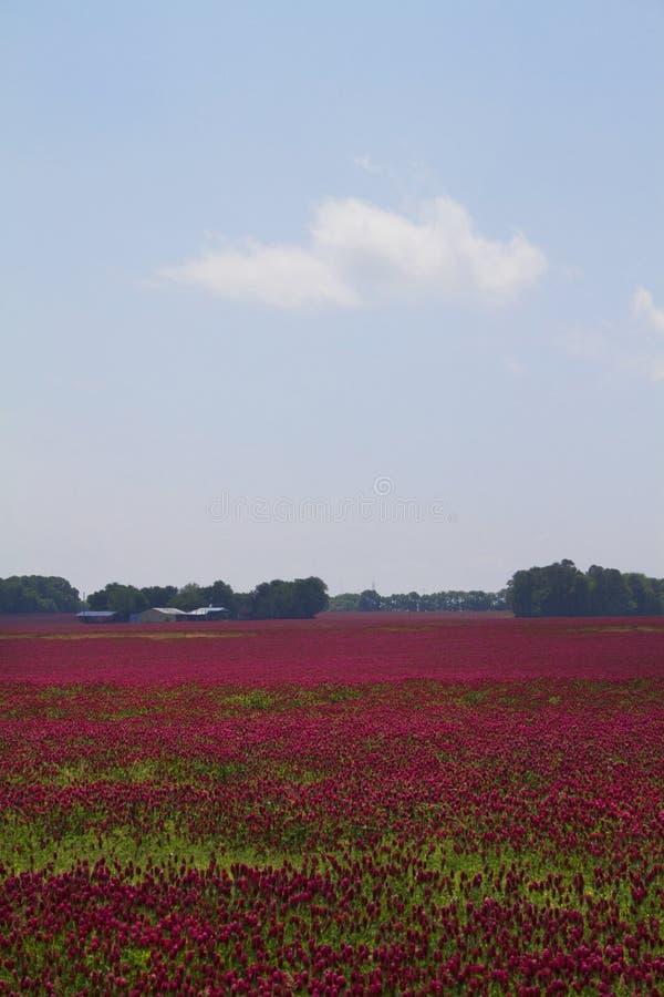 Trevo carmesim - incarnatum do Trifolium fotografia de stock royalty free