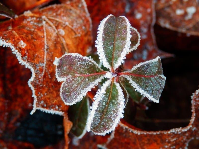 Trevo congelado de quatro folhas fotografia de stock royalty free