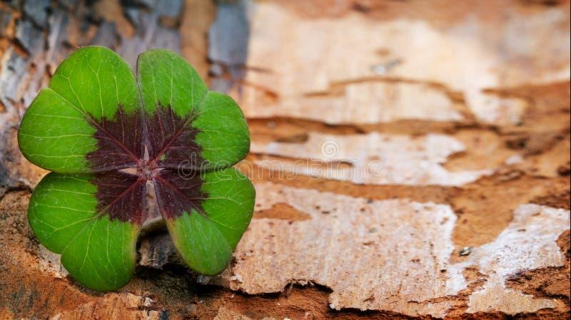 Trevo de quatro folhas na casca com spacebark da cópia fotografia de stock