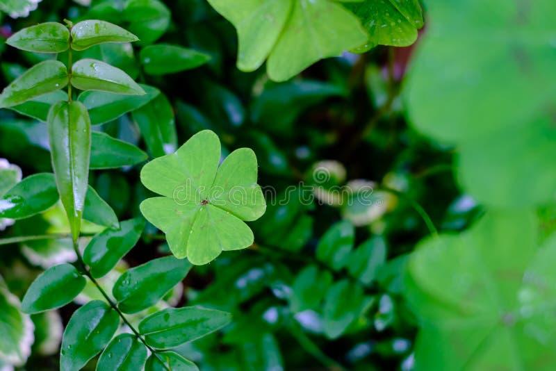 Trevo de quatro folhas no jardim cercado por outras folhas, blurr foto de stock royalty free