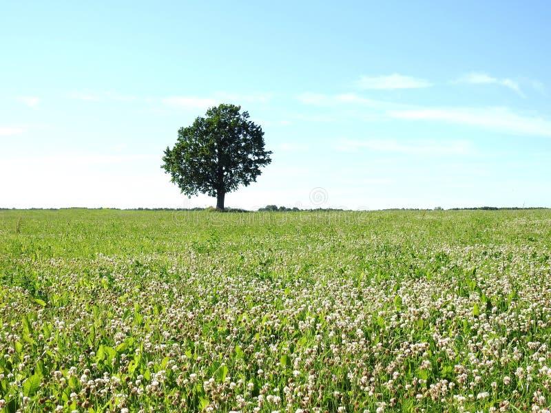 Trevo e árvore de florescência brancos no campo, Lituânia foto de stock royalty free
