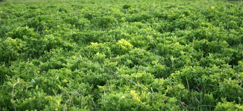 Trevo fresco verde que cresce na mola adiantada Pode ser usado como um fundo ou uma textura, close-up imagem de stock