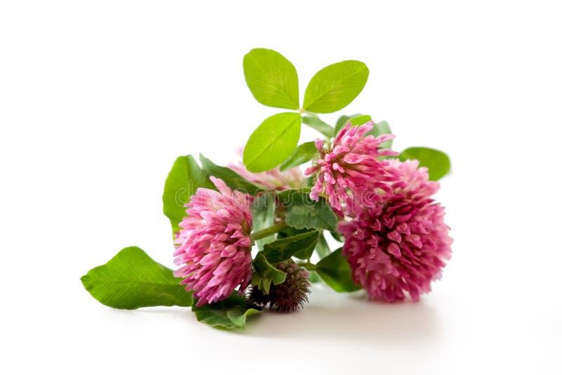 Trevo, planta medicinal de trevo vermelho isolada imagens de stock