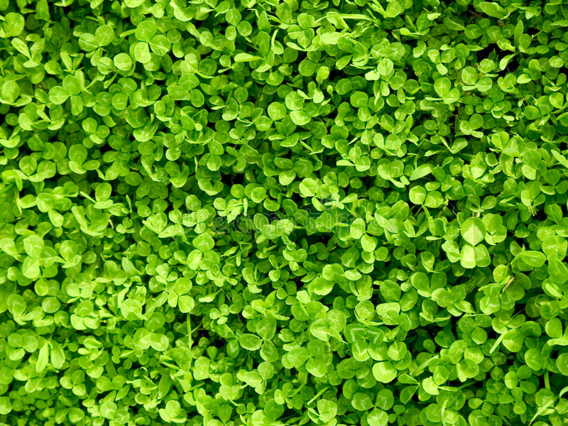 Trevo verde foto de stock royalty free