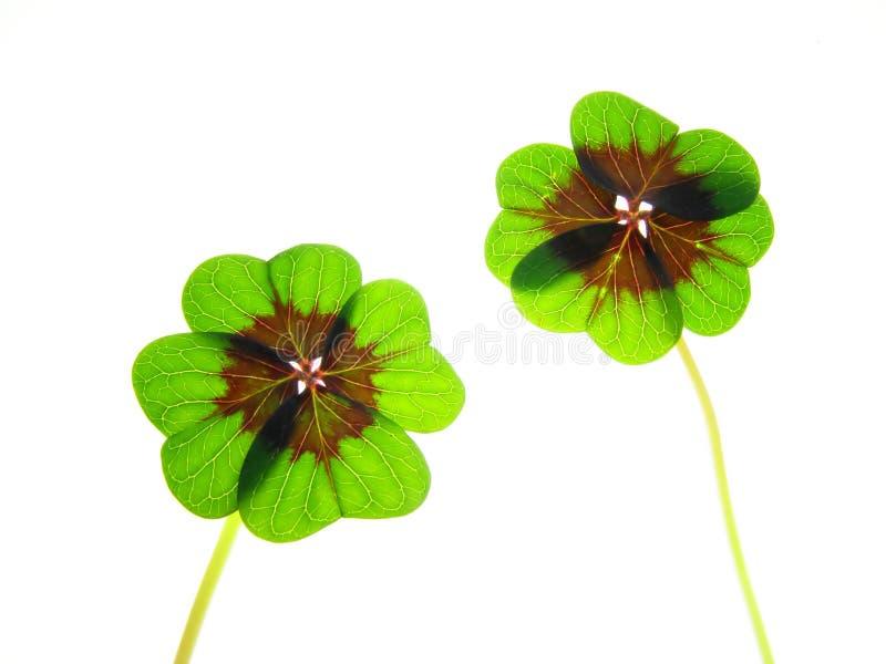 Trevo verde imagem de stock