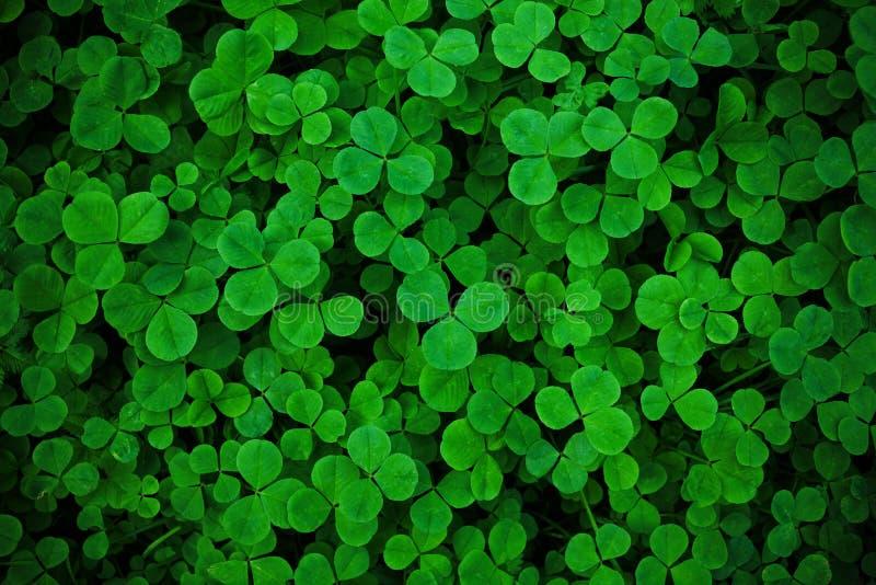Trevo verde do trevo do frech trefoil Papel de parede do fundo fotos de stock royalty free