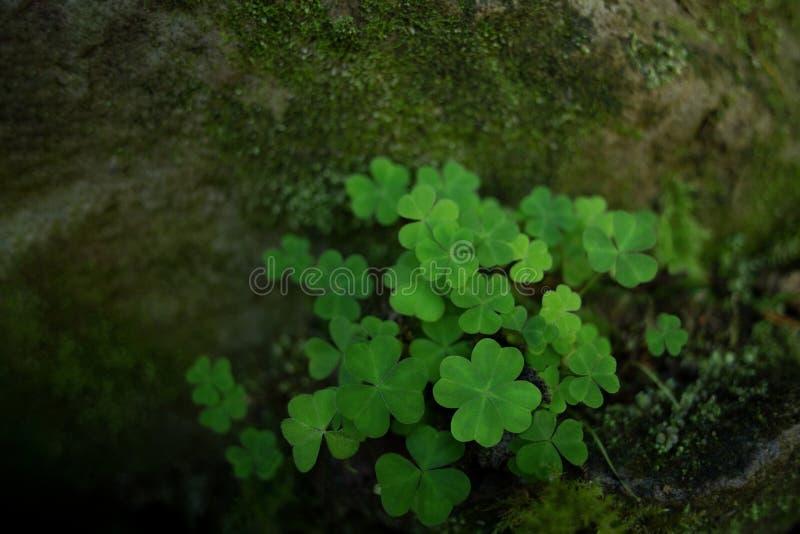 Trevo verde no musgo foto de stock