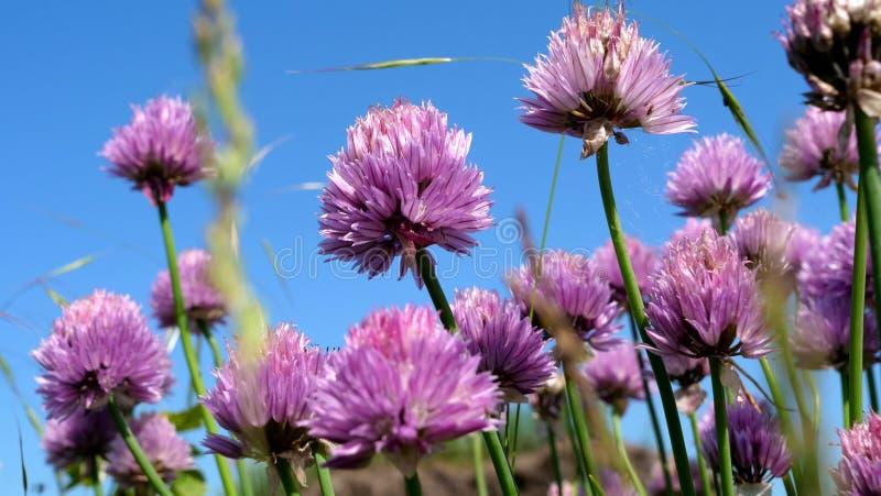 Trevos de florescência roxos agradáveis em The Field com fundo bonito do céu fotos de stock royalty free