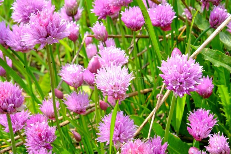 Trevos de florescência roxos agradáveis em The Field imagem de stock